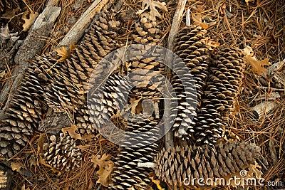 Arrangement of pine cones on the ground