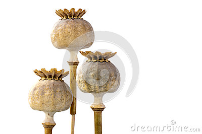 Três cápsulas da semente de papoila no close up, isolado no branco