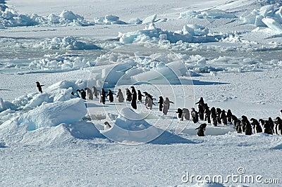Arranque de cinta del grupo del pingüino