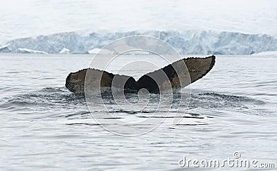 Arrière de la baleine de bosse dived-1.