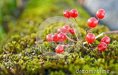 Arrowwood on moss