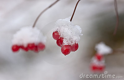 Arrowwood under snow