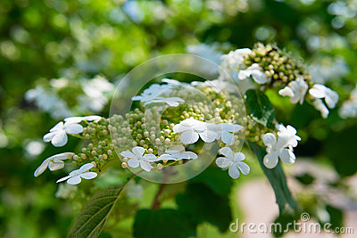 Arrowwood (Viburnum) flowers