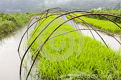Arroz verde que crece en granja