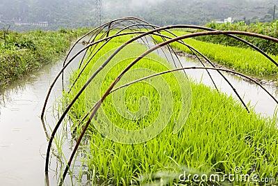 Arroz verde que cresce na exploração agrícola