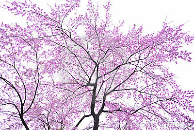 art Cherry blossom