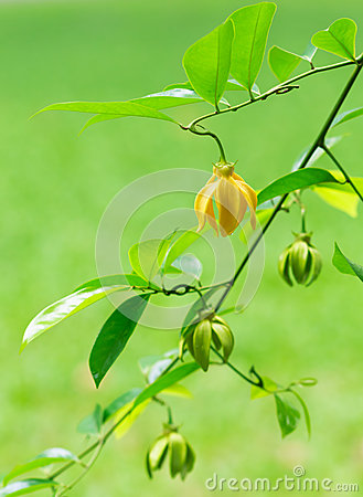 Artabotrys hexapetalus Flower Wallpaper, Yellow flower of Bhanda
