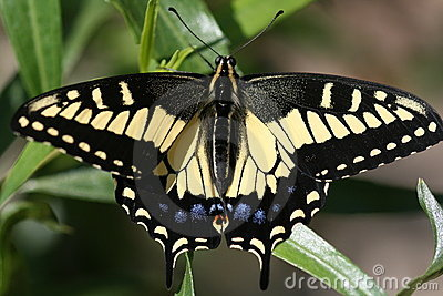 Arte de un Swallowtail