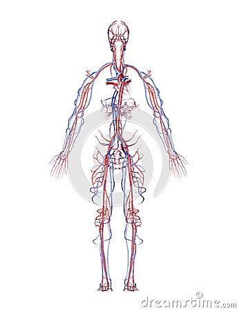 Arterien und Adern