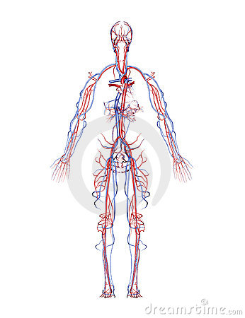 Free Arteries And Veins Stock Photography - 3018272
