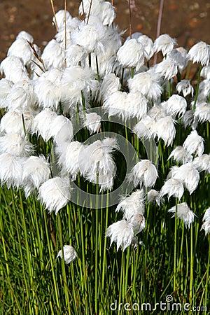 Artic cotton flowers