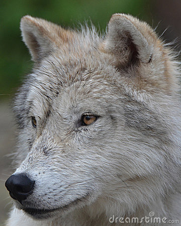 Free Artic Wolf Stock Photography - 19983392