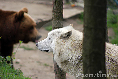 Artic wolf and brown bear