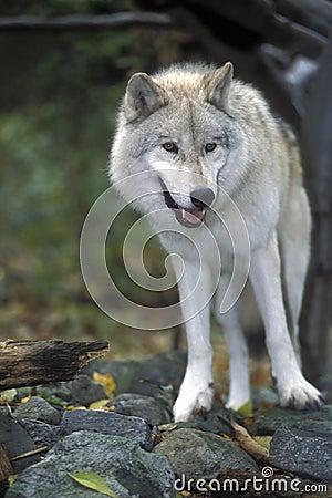 Artic wolf posing