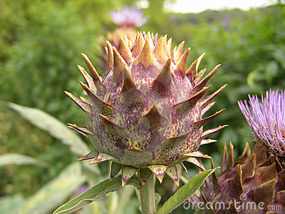 Artichoke flower budding