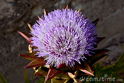 Artichoke purple flower