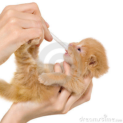 Artificial feeding newborn kitten