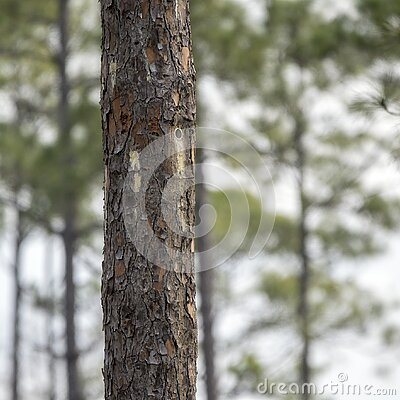 Artificial nest cavity in Long Leaf Pine tree for endangered Red-cockaded Woodpecker