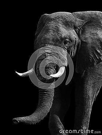 Free Artistic Black And White Elephant Stock Photo - 32360330