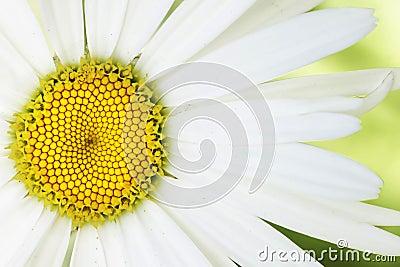Artsy daisy