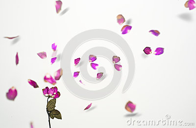 Artistic picture of exploding dried rose