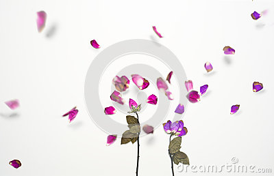 Artistic picture of exploding dried rose moving all over