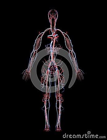 Artères et veines