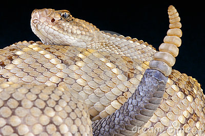 Aruba rattlesnake / Crotalus durissus unicolor
