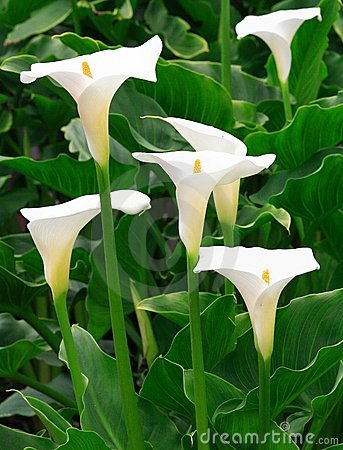 Free Arum Lilies Royalty Free Stock Images - 766749