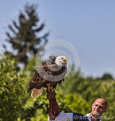 Bald Eagle and Male Bird Tamer Editorial Photo