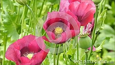 As flores de sopro ventosas ventosos do vento delicado da brisa gramam o campo das papoilas que balança delicadamente vídeos de arquivo