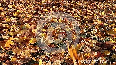 As folhas de bordo brilhantes do outono caem para baixo e cobrem a terra video estoque