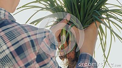 As mãos do fazendeiro com os bulbos frescos da cebola no sol Produtos frescos de uma exploração agrícola pequena vídeos de arquivo