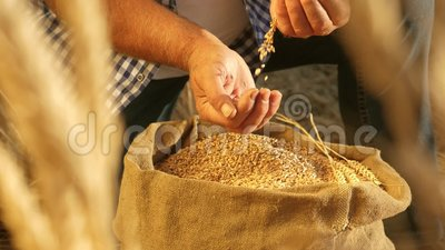 As mãos do fazendeiro jogam grãos de trigo em um saco com orelhas Cereais de colheita Agrônomo olha a qualidade do grão vídeos de arquivo