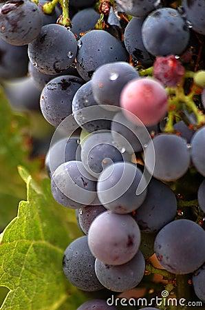 As uvas do vinhedo fecham-se acima