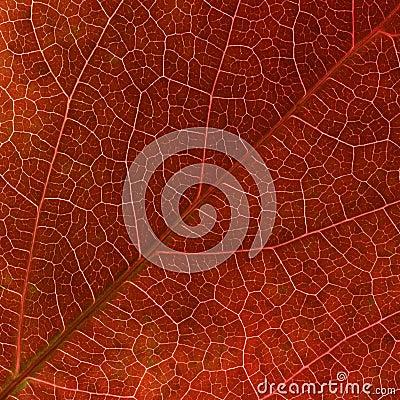 As veias vermelhas da folha do creeper de Virgínia do outono fecham-se acima.
