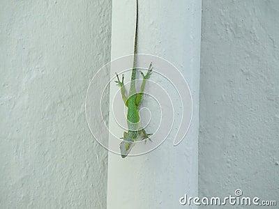 Ascending Gecko