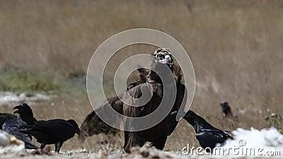 Asgrauwe gier die rond eruit zien