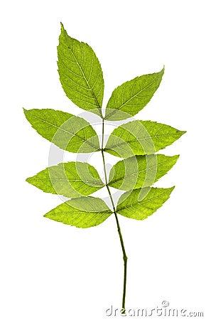 Free Ash Leaves Stock Image - 21855901