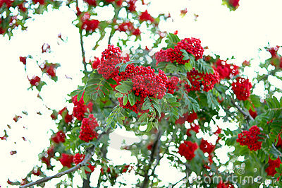 Ash (rowan) tree and ashberry (rowanberry).