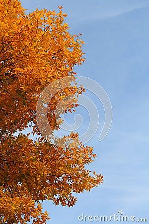 Ash tree at autumn