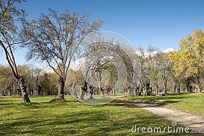 Ash tree grove