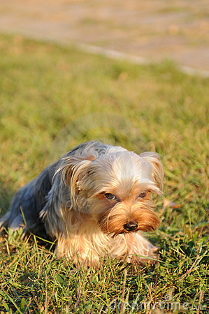 Ashamed yorkshire terrier