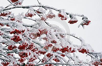 Ashberries in wintertime