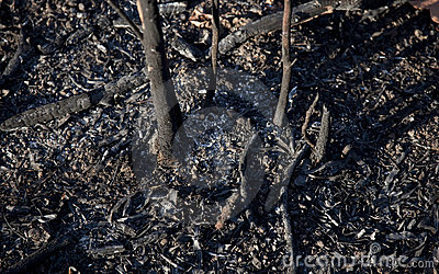 Ashes from Bush Brush Fire - Burnt Saplings