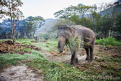 Asia Elephant eating grass