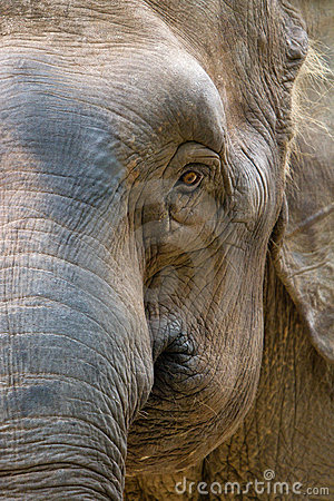 Asia elephant head