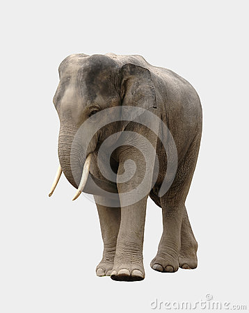 Asia elephant isolated