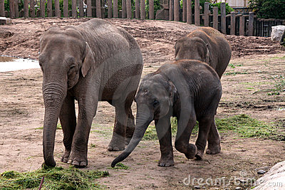 Asian, Asiatic, Indian Elephant with Baby Calf