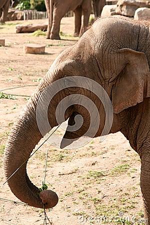 Asian, Asiatic, Indian Elephant Eating